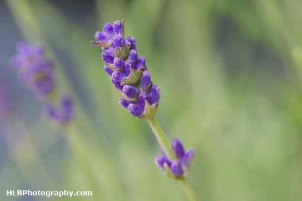 Lavender has started to flower