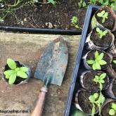 Planting the common fleabane