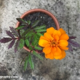 The marigold'a have started to flower
