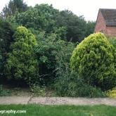 Buddleja in the front garden