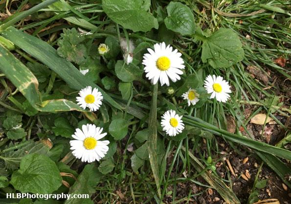 Common daisy