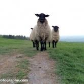 08-sheep