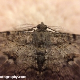 Willow Beauty Moth