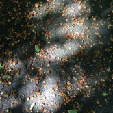 Pools of light through leaves on the tree
