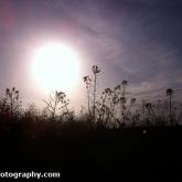 Oil Seed Rape field at Sunset