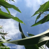 Looking up in the Corn