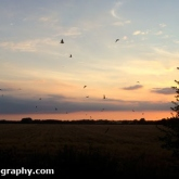 Swallows over the Wheat Field
