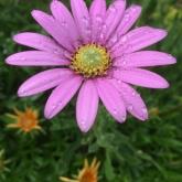 Summer flower after the rain