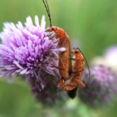 Mating Red Soldier Beetles