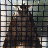 A Moth on netting