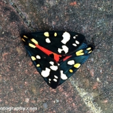 Scarlet Tiger Moths