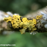 Golden Shield Lichen