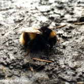 Sadly this Bumblebee passed away after being caught out in a frost