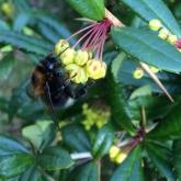 Bumblebee gathering nectar