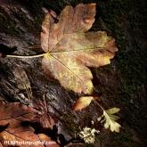 Nauturally Lit Autumn Leaves