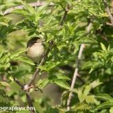 Isle Of Portland - Cetti's Warbler