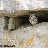Isle Of Portland - Little Owl