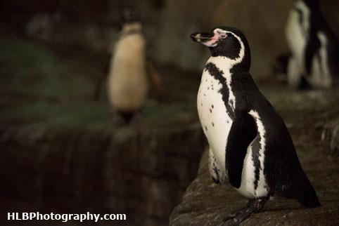 Humboldt penguin - Longleat Safari Park 2016