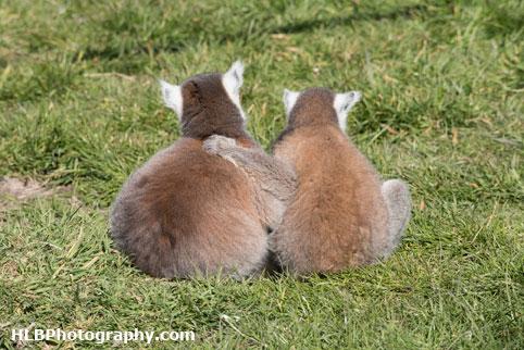 Lemur - Longleat Safari Park 2016
