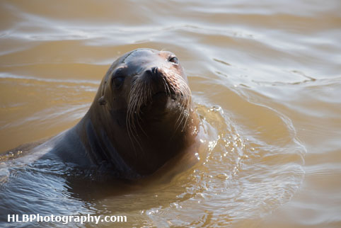Sealion - Longleat Safari Park 2016