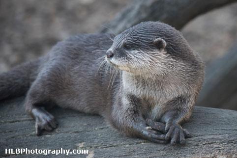 Otter - Longleat Safari Park 2016
