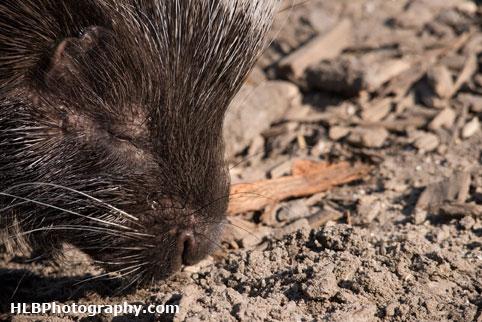 Porcupine - Longleat Safari Park 2016