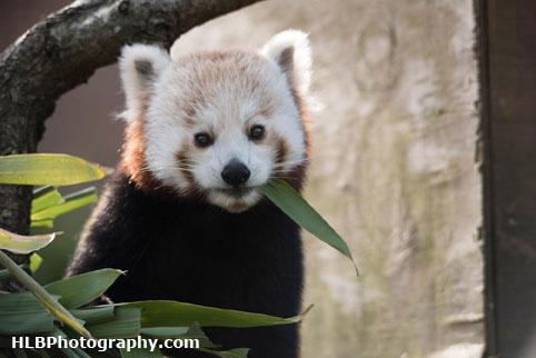 Red Panda - Longleat Safari Park 2016