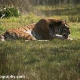 Tiger - Longleat Safari Park 2016
