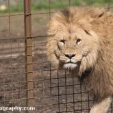 Lion - Longleat Safari Park 2016