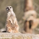 Meerkat - Longleat Safari Park 2016