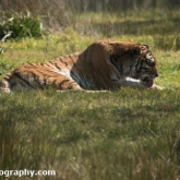 Tiger - Longleat Safari Park 2016
