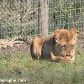 Lion - Longleat Safari Park 2016