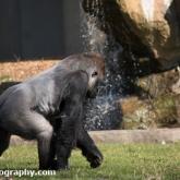 Gorilla - Longleat Safari Park 2016