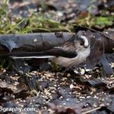 Wildlife Trusts Lower Moor Farm - Long-tailed tit