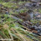 Wildlife Trusts Lower Moor Farm - Dunnock