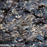 Wildlife Trusts Lower Moor Farm - Reed bunting