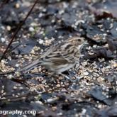 Wildlife Trusts Lower Moor Farm - Reed bunting