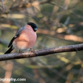 Wildlife Trusts Lower Moor Farm - Bullfinch