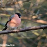 Wildlife Trusts Lower Moor Farm - Bullfinch