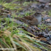 Wildlife Trusts Lower Moor Farm - Dunnock