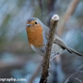 Wildlife Trusts Lower Moor Farm - Robin