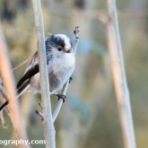 Wildlife Trusts Lower Moor Farm - Long-tailed tit