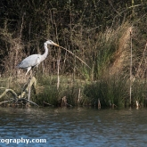 The Wildlife Trusts - Lower Moor Farm - Grey Heron gathering nesting material