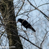 The Wildlife Trusts - Lower Moor Farm - Carrion Crow collecting nesting material