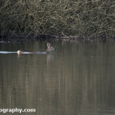 The Wildlife Trusts - Lower Moor Farm - Roe Deer swimming