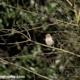 The Wildlife Trusts - Lower Moor Farm - Chaffinch (Female)