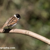 The Wildlife Trusts - Lower Moor Farm - Reed Bunting (Male)
