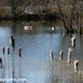The Wildlife Trusts - Lower Moor Farm - Canada Goose
