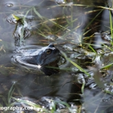 The Wildlife Trusts - Lower Moor Farm - Common Frog