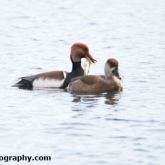 The Wildlife Trusts - Lower Moor Farm - Red-crested Pochard